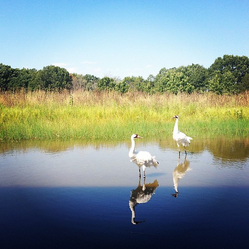 Pair of rare Whooping Cranes (!) #dellsfun #latergram
