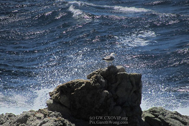 cool sea gull on rock on St.Tropez (It totally ignored the big wave hitting the rocks) IMG_3524