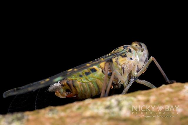 Planthopper (Fulgoromorpha) - DSC_3246
