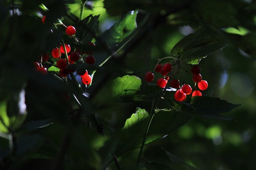 IMG_2869_Red_Berries