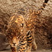 El Tigre IMG_1245 por fernandodelatorre46