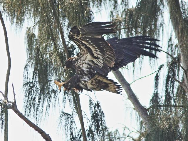 Bald Eaglet landing4 20140426