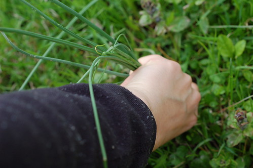 Harvesting wild garlic by Eve Fox, the Garden of Eating blog, copyright 2014