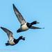 IMG_ Ring Necked Ducks