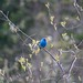 Indigo Bunting by laughsloudly