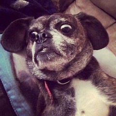 Mocha The #Puggle #Gemlin #pet #animals Caption this #Dog