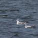 Little Gull and Bonapartes Gull