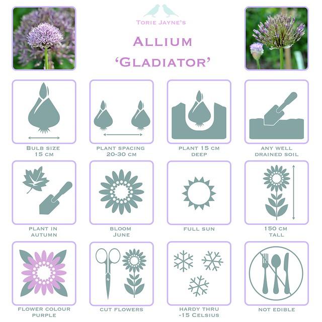 Allium 'Gladiator'details