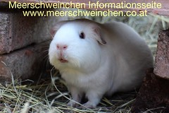 www.meerschweinchen.co.at ❤️🐽🐷😀 #meerschweinchen #Nager #Nagetiere #Kleintiere #meeri #Fun #Tiere #Haustiere #cute #guineapig #zoo #baby #meerschweinchenliebe #animal #meerschweine #toptags #guineapigs
