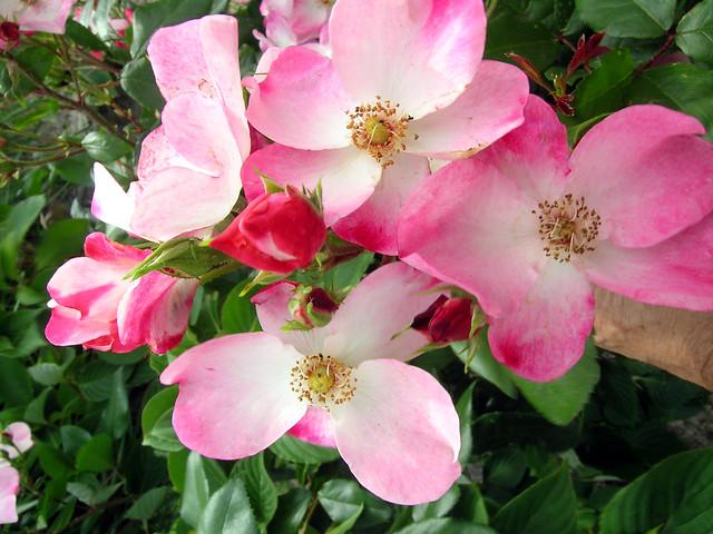 Eglantines roses., Nikon E5400