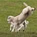 Lambs on Charnwood Forest