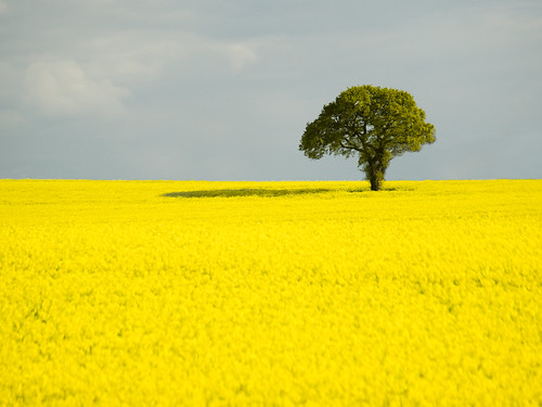 Lone Tree in a Yellow Sea