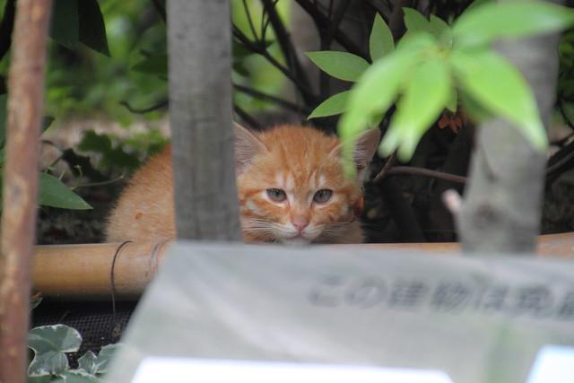 Kitten Blue - 子猫の青い目 1