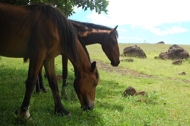 Horses at Puna Pau
