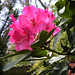 rhododendron-may-03