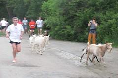 Stádo koz zpestřilo středeční Triexpertcup