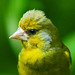 Baby greenfinch