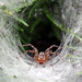Small photo of Funnel Spider