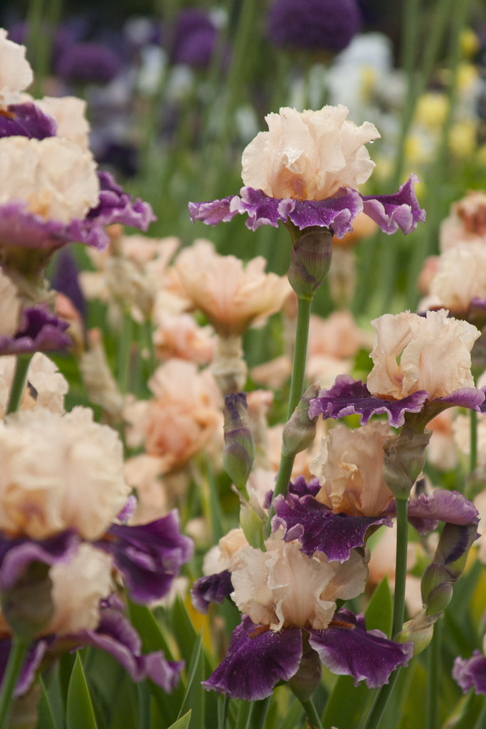 Mulberry Iris 4