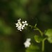 Small photo of Garlic mustard (Alliaria petiolata)