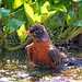 <p>Birding + Bathing = Physics!<br /> <br /> This is a bit of a head trip, isn`t it?<br /> <br /> I was also tempted to entitle it &quot;Spin Cycle&quot;.  <br /> <br /> American Robin<br /> Brooklyn, NY</p>