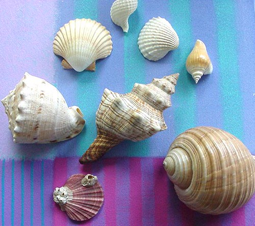 My Shells-Plain- Vertical-6.3x7