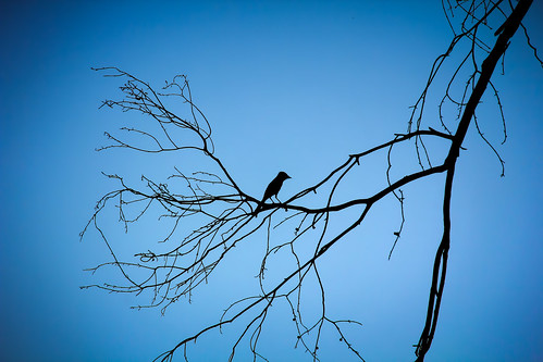 blue sunset color tree bird nature colors silhouette sunrise branch