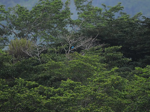 spot the blue cotinga