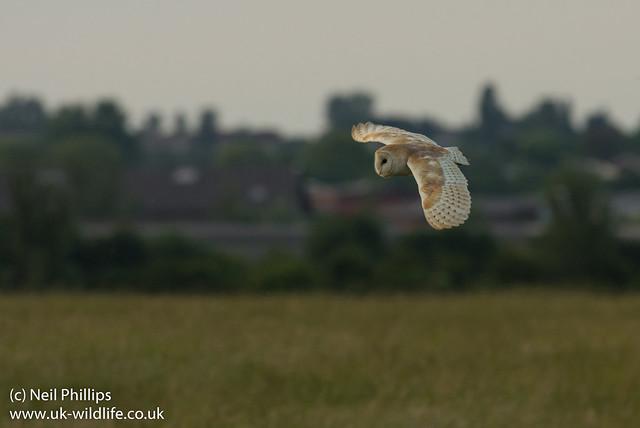 Barn owl Tyto alba-2