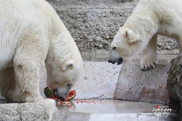 Eisbären Giovanna&Yoghi 2013_07_10 194