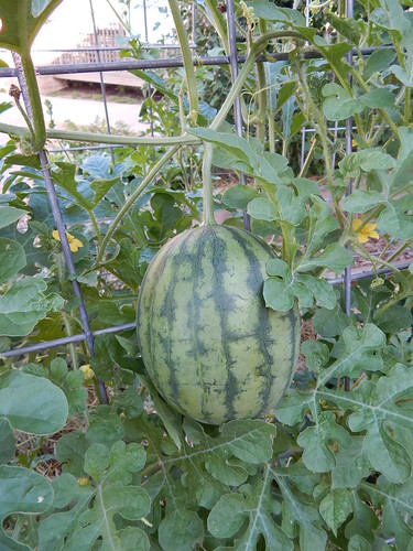 Watermelon The Demo Garden Blog