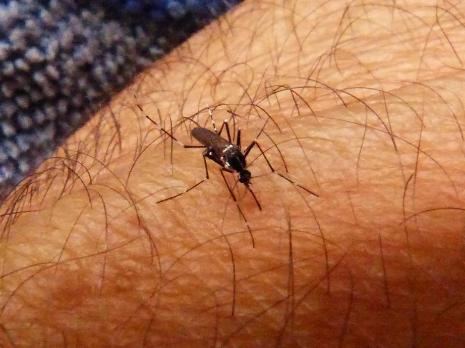 Mosquito Tigre (21)