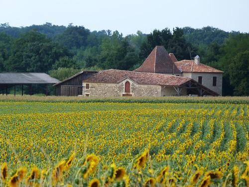 Campo de girasoles en el Gers (Francia)