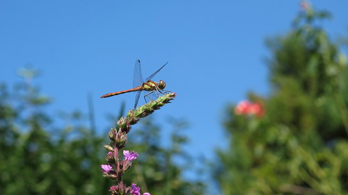 Dragonfly - Libellule - Libelle