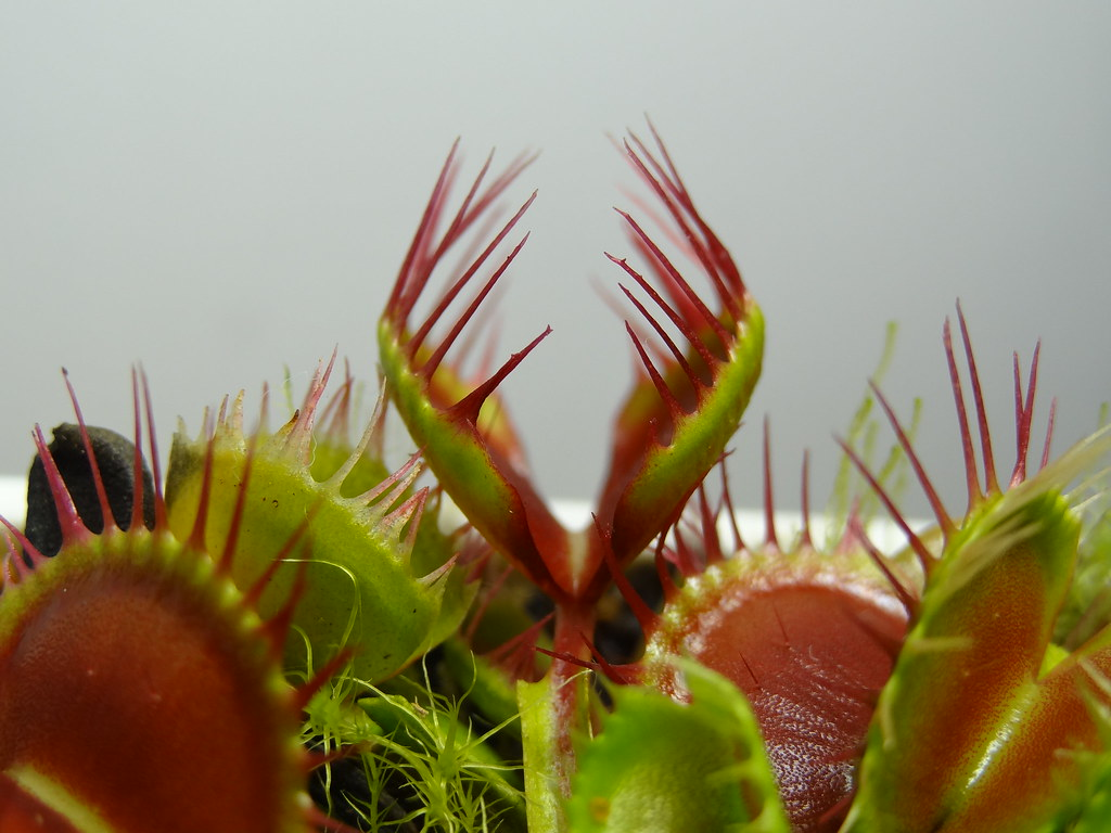 "Dionaea Muscipula.""Long Red Fingers"""