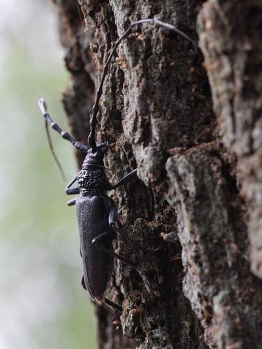 Cerambyx cerdo (Cerambycidae) - Heldbock