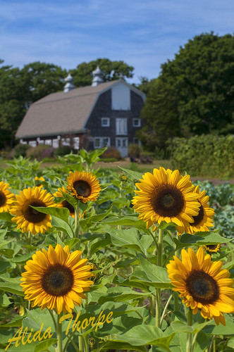 Sunflower Rows by Alida's Photos