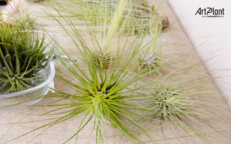 art plant   cay khong khi   tieu canh khong khi   terrarium   khong khi sao mai