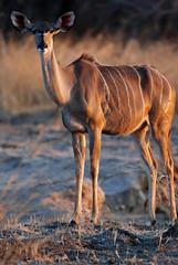 Female Greater Kudu (Tragelaphus strepsiceros), South Luangwa NP, Zambia