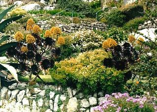 Aeoniums - St Michaels Mount