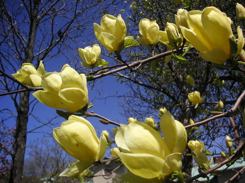 Yellow Magnolia Wallpaper Magnolia 39 Yellow Bird 39