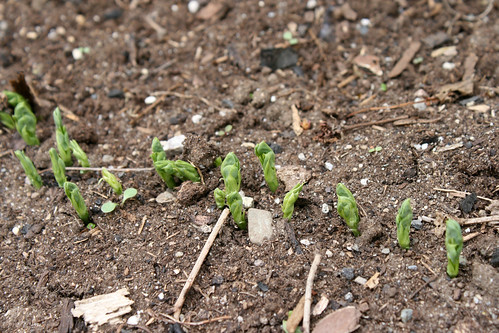 more pea sprouts 074