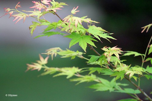 Japanese Maple Green