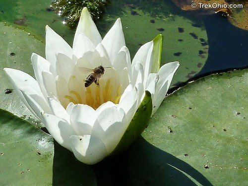 Bee in Water Lily