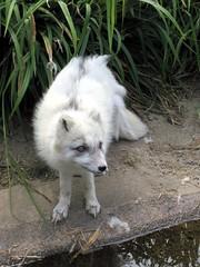 arctic fox, animal, dog, zoo, mammal, fauna, wildlife,