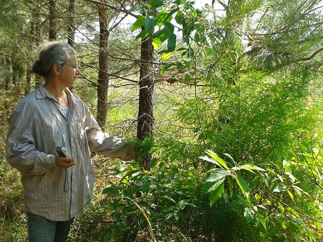 Juniperus virginiana, Callicarpa americana