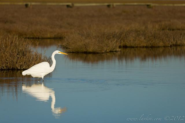 Egret, Palo Alto Baylands, California, 2013