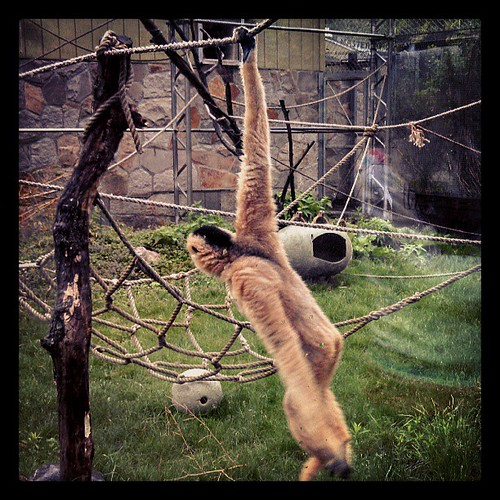 Mama #Gibbon swinging #stonezoo