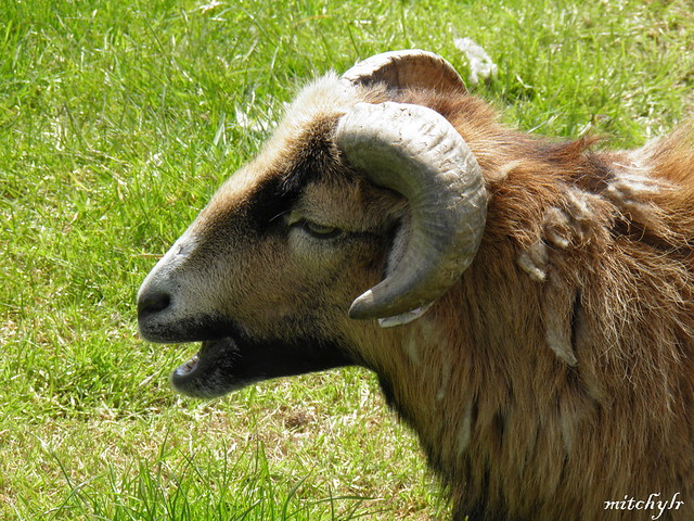 Cameroon Sheep 1