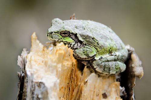 2013 05 28 Tree Frog